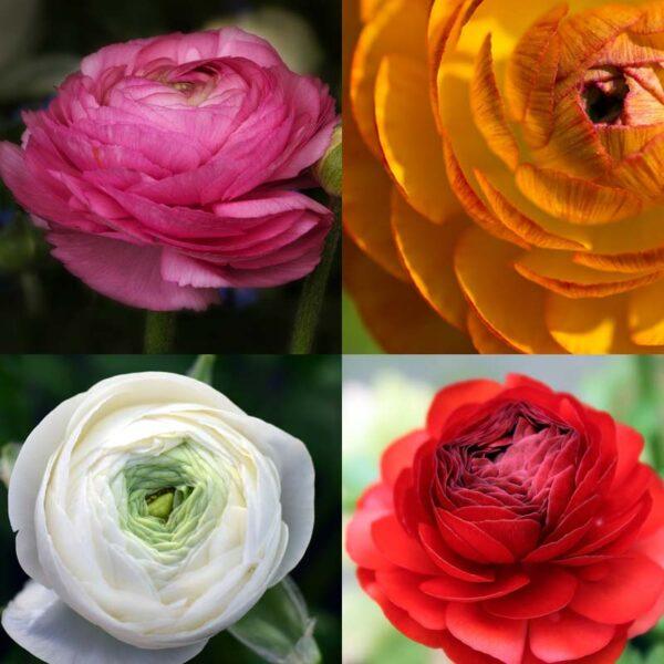 ranunculus four colour collection
