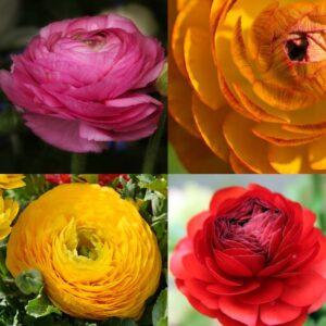 ranunculus four colour collection version 1