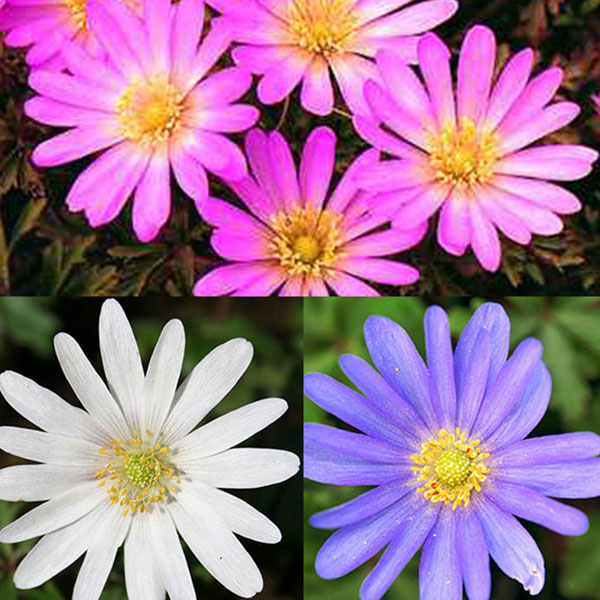 anemone blanda mix 01