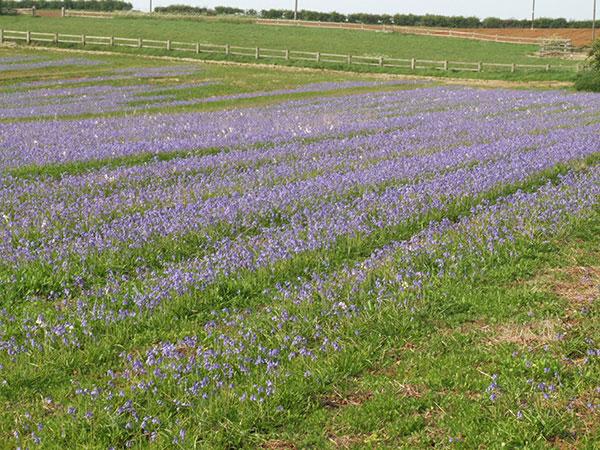 bluebell field 02
