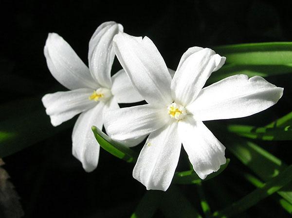 chionodoxa alba white glory snow