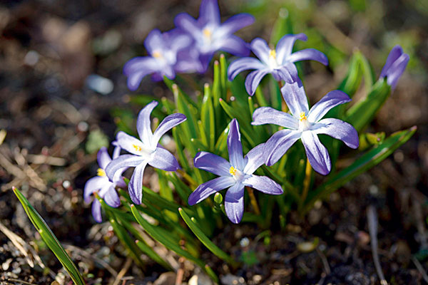 chionodoxa glory of the snow