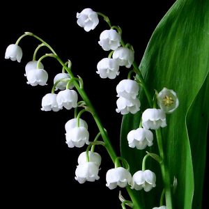 convallaria majalis lily of the valley