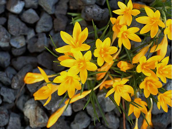 crocus specie golden bunch
