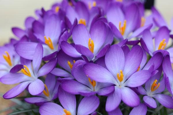 crocus specie whitewell purple