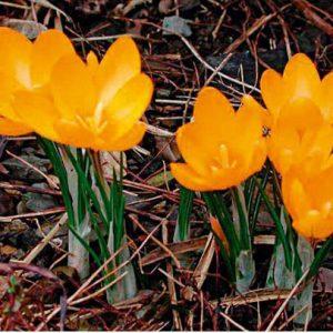 crocus yellow