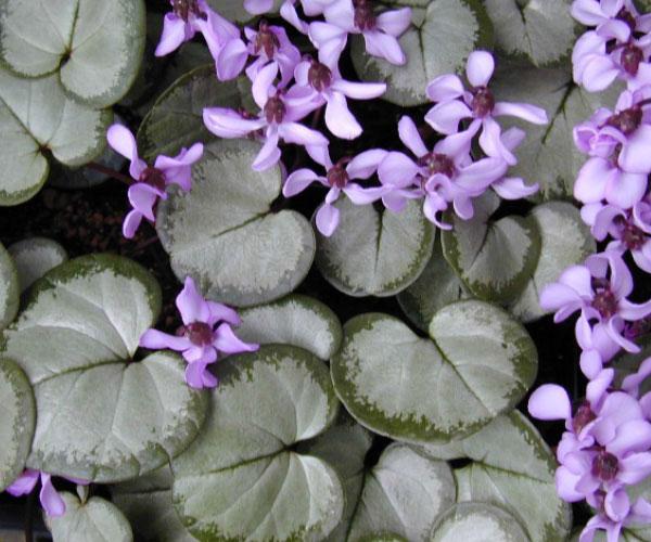 cyclamen hederifolium silverleaf
