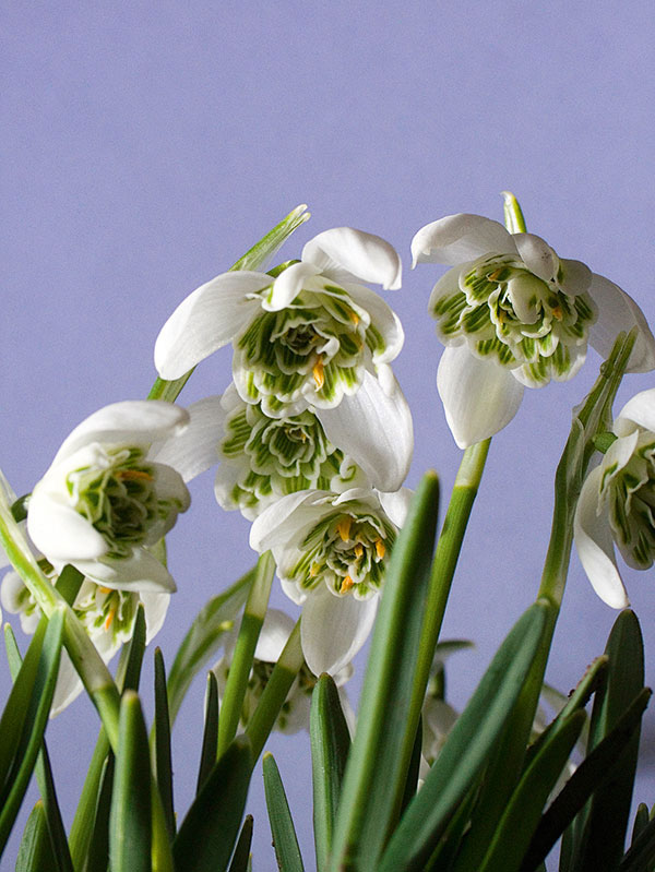 galanthus double snowdrops 04