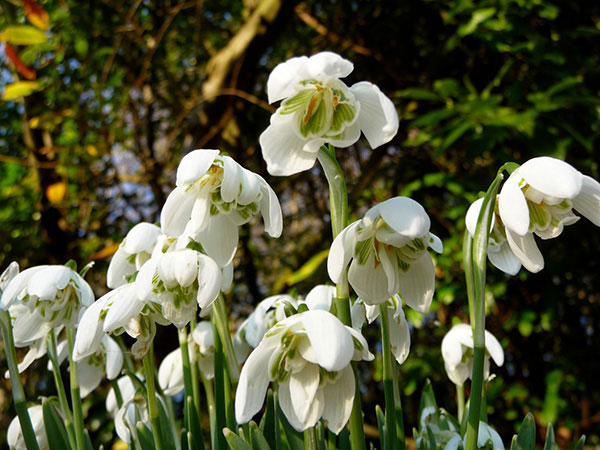 galanthus double snowdrops