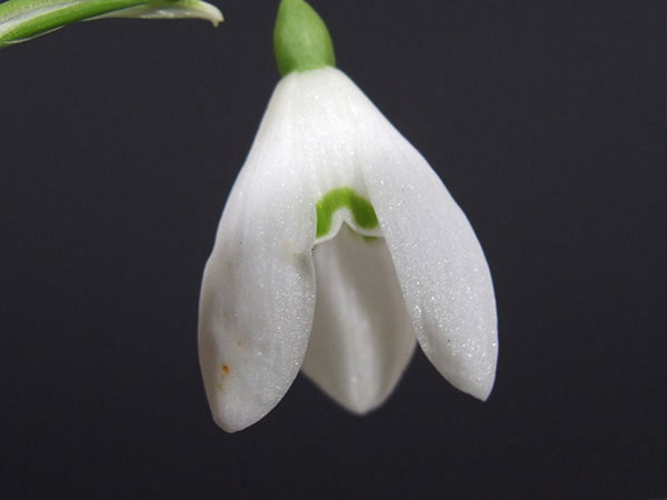 galanthus single snowdrop