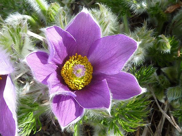 pulsatilla vulgaris lilac