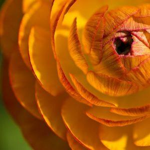 ranunculus orange 02