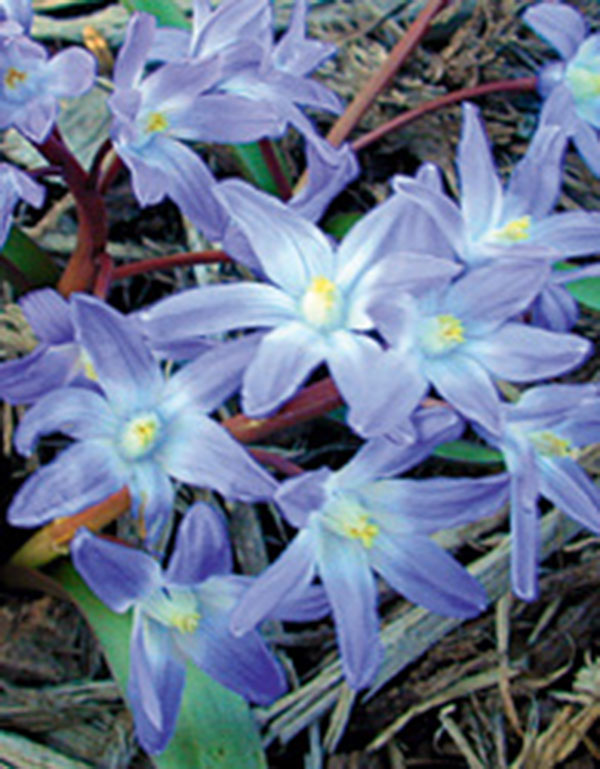 scilla bright blue