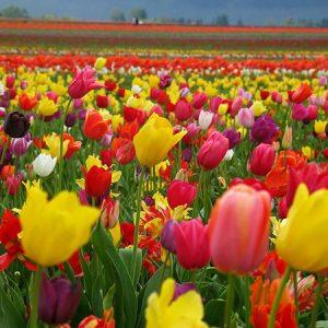 tulips mix