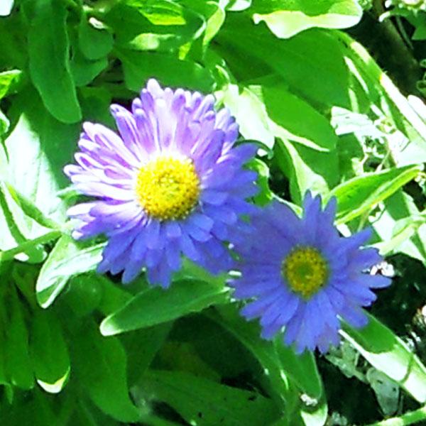 aster alpimuas violet 01