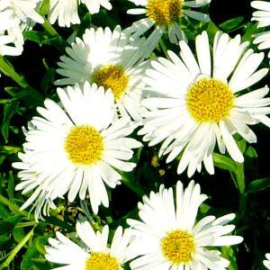 aster alpimuas white 02