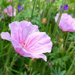 geranium vision pink
