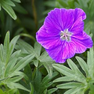geranium vision violet