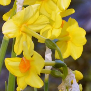narcissus sweetness 01