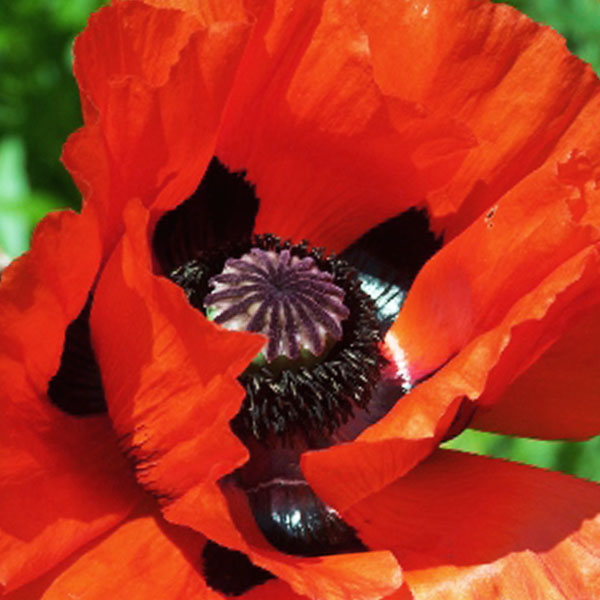 papaver beauty of livermore 01