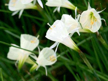 bulbocodium white petticoat