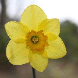 daffodil carlton