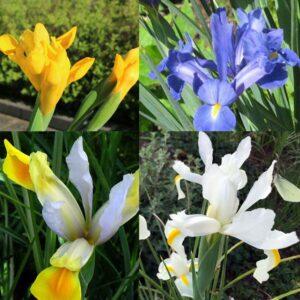 iris collection