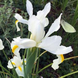 iris dutch white van vliet