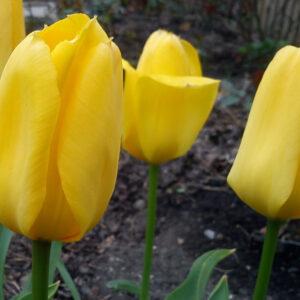 tulip yokoma